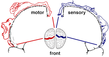 The Sensorimotor cortex of the human brain